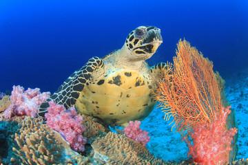 Fototapete - Hawksbill Sea Turtle