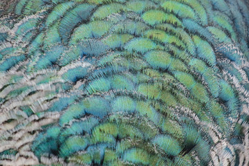 texture of peacock feathers