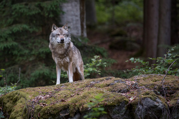 Photo sur Plexiglas Loup Wolf is standing on the rock in Bayerischer Wald National Park, Germany