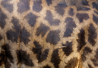 Giraffe's skin background.