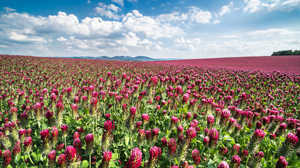 Field of flowering crimson clovers in spring landscape. Italian clover. Trifolium incarnatum. Beautiful red trefoil. Idyllic view, hills, forest on the horizon. Blue sky, clouds. Full depth of field.
