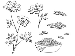 Cumin plant graphic black white isolated sketch set illustration vector