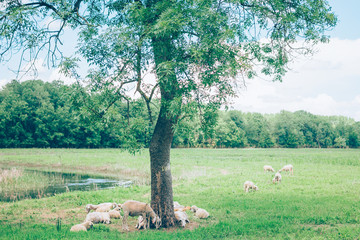 Herd of sheeps in the meadow in the springtime