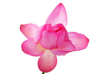 blooming lotus flower isolated on white background