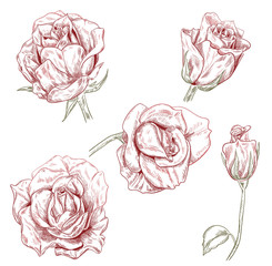 Set of roses: brown (sepia) monochrome flowers, buds on white background. Botanical illustration for design, hand draw sketch in engraving vintage style, etching, stamp for embossing, vector