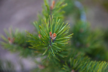 branch fir-tree green or pine