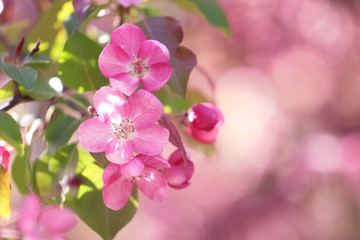 Pink apple-tree flowers on the pink background