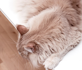 Big cat maine coon cream-colored lying on a white table and looking down