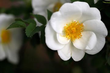 White Rosa rubiginosa (sweet brier eglantine rose)