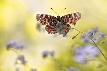 Araschnia levana butterfly