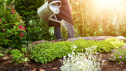 Unrecognisable woman watering flower bed using watering can. Gardening hobby concept. Flower garden image with lens flare. Fototapete