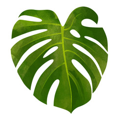 Monstera  tropical leaf  isolated on white background.