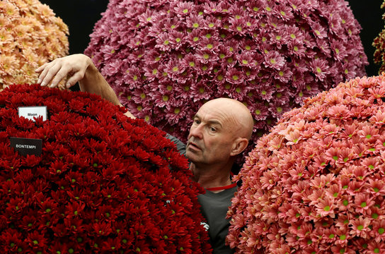 A worker adjusts chrysanthemums on a display as he prepares for the RHS Chelsea Flower Show in London, Britain May 20
