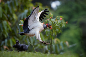 Flying King Vulture, Sarcoramphus papa, largest of the New World vultures. Bird with outstretched wings, landing next to carcass. Wildlife photo, Costa Rica, Central America.