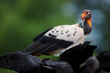 King Vulture, Sarcoramphus papa, largest of the New World vultures. Bizarre, colorful american scavenger feeding on carcass, standing over  black vultures. Wildlife photo, Costa Rica, Central America.