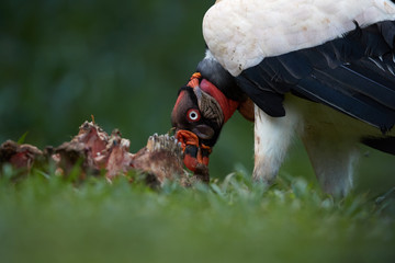 Portrait of King Vulture, Sarcoramphus papa, largest of the New World vultures, feeding on carcass. Close up portrait of bizarre, colorful american scavenger. Costa Rica, Central America.