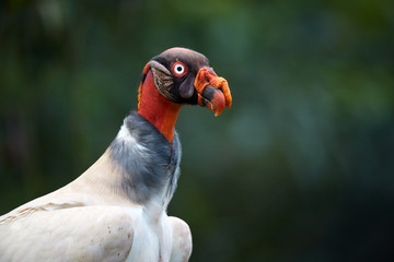 King Vulture, Sarcoramphus papa, largest of the New World vultures. Close up portrait of bizarre, colorful american scavenger against blurred, dark jungle. Wildlife photo, Costa Rica, Central America.