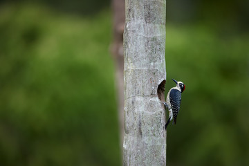 Black-cheeked woodpecker, Melanerpes pucherani, tropical woodpecker next to nesting hole. Colorful bird, resident to central America, against blurred wet forest. Wildlife photography in Costa Rica.