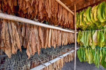 Dried tobacco in curing.