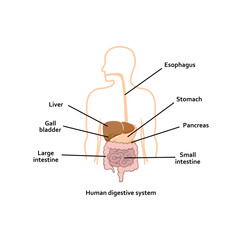 Digestive system vector illustration.