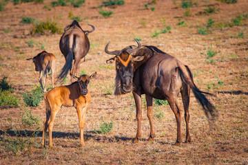 Wall Mural - Antelope Gnu. Kenya. Africa. A herd of wildebeest. Antelope Gnu looks at the camera. Hatchling antelopes. Preserve in Kenya. Animals of Africa.