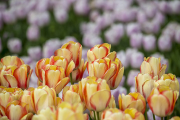 Tulip Flower background