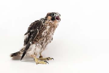 Chick falco peregrine (Falco peregrinus) on white background. 27 days old.