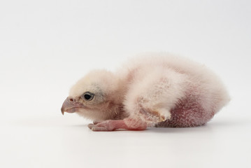 Chick Saker Falcon (Falco cherrug) on white background. 2 days old.