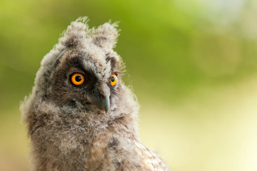 portrait of a young long-eared owl (Asio otus). Close Up.
