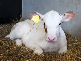 almost completely white young newborn calf on straw in barn on dutch farm in the netherlands