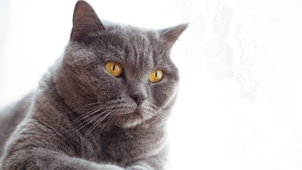 Portrait of a british shorthair cat with expressive orange eyes on window background indoors