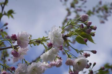 flowering of Japanese cherry, pink-white flowers