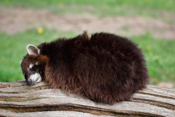 Sleeping common lotor raccoon on the tree truk