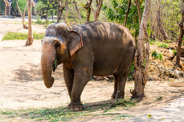 elephant standing under a tree & eating grass with locked at toe by chain rope at zoo.