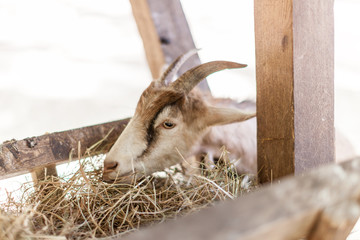 Close up young goat eating dry straw in farm