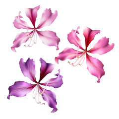 Pink Bauhinia Purpurea flowers.