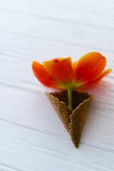 Tulip in a waffle horn on a wooden white background