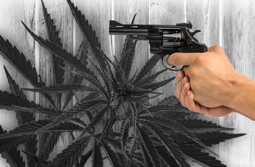 Gun in hand against the background bush of marijuana, hemp.police handcuffs. crime.