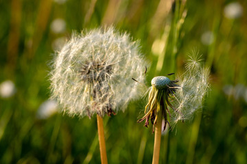 Dandelion clock seed heads with dispersed flowers at sunset