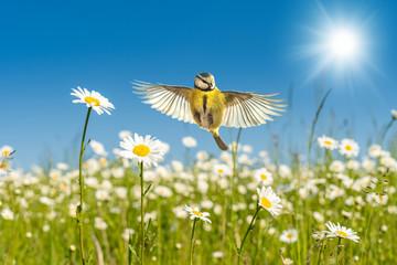 Fototapeta premium Błękitny tit lata nad jaskrawy kolorowymi stokrotkami Kwiat łąka pod perfect niebieskim niebem w ciepłym świetle słonecznym