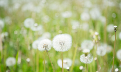 Blurred Nature Spring Background with white fluffy dandelion flowers