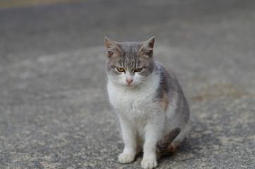 三毛猫正面