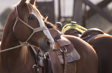 Tied up horses at a rodeo.