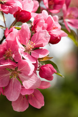 Close Up of Pink Apple Blossoms in Spring