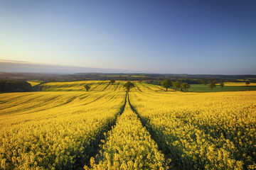 Wall Murals Village Hilly Rapeseed Field at Sunrise