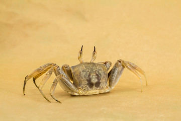 Ghost crab Brown background Ocypode ceratophthalmus from phuket Thailand