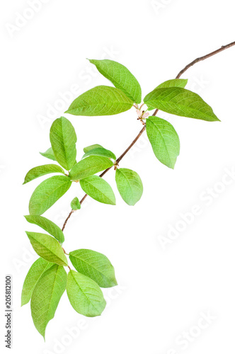 Bird Cherry Prunus Padus Branch In Spring Isolated On
