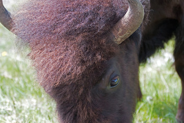 Close up of eye of Bison Buffalo Cow in the Lamar Valley in Yellowstone National Park in Wyoming United States