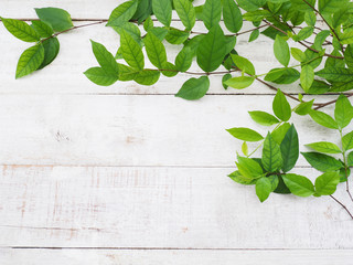 Wall Mural - creeper plant green leaves on white vintage wood.