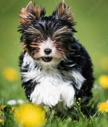 Biewer Yorkshire Terrier Puppy Stockfotos Und Lizenzfreie Bilder